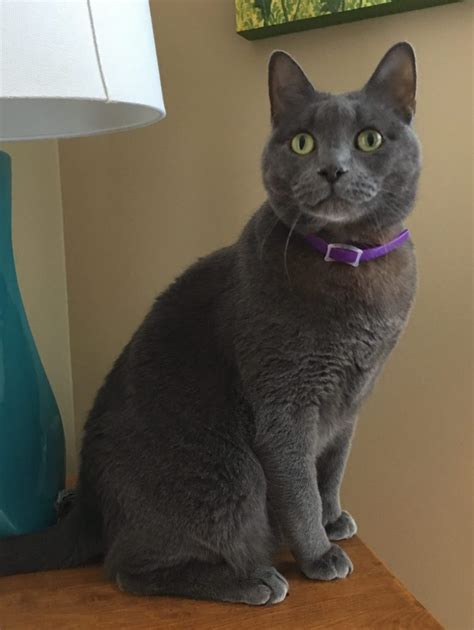 Blue Cat For russian blue cat rehoming