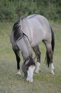 grulla a black with the dun gene dilution grulla