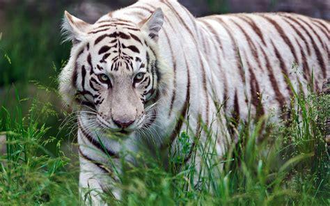 imagenes de jaguar blanco white siberian tiger wallpapers wallpaper cave