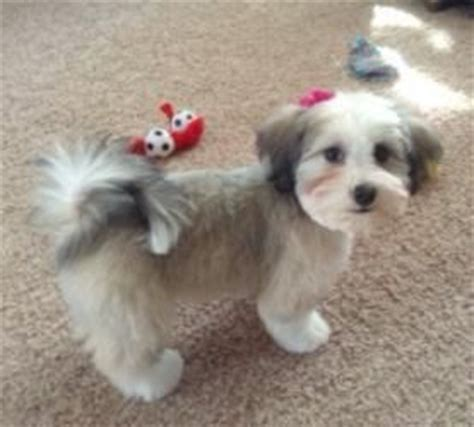 grooming a havanese puppy grooming a havanese dogs dogs dogs to be the o jays and need to