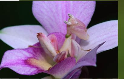 malaysian orchid praying mantis amazing adaptations