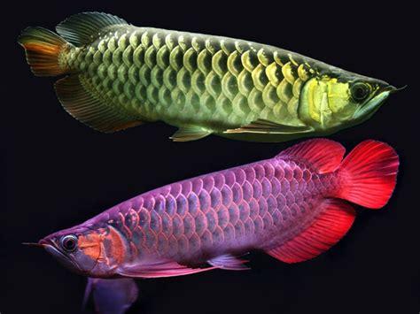 Daftar Bibit Ikan Arwana ikan arwana asia daftar ikan hias