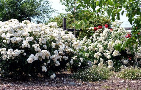 wordless wednesday white gardens for goldens