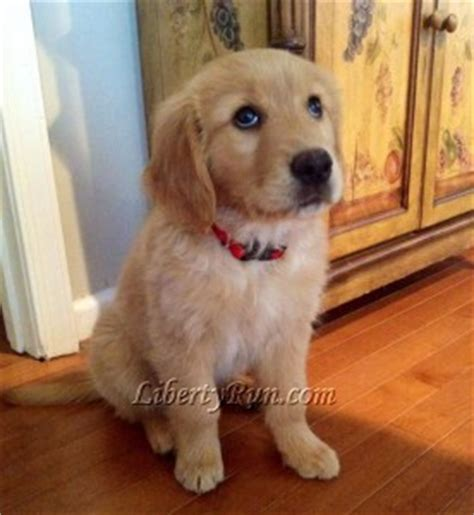 how to your golden retriever puppy how to reserve a golden retriever puppy at liberty run