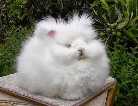 like a bunny the most fluffy bunny in the world looks like a cotton mitsueki singapore