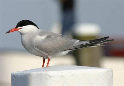 byrd tern common tern birdforum opus