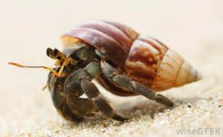 what do hermit crabs eat with pictures