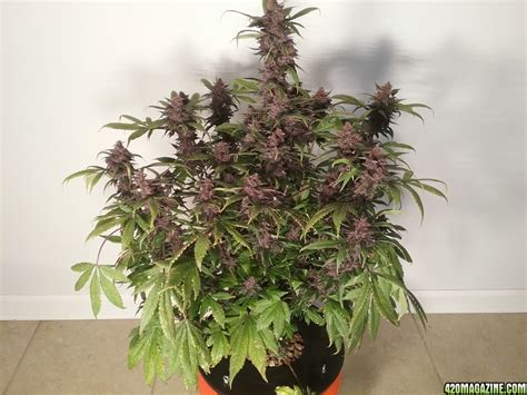 Auto Wachsen by Auto A Community Grow Record Page 58