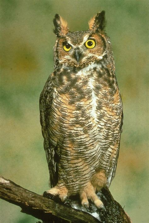 the great horned owl it s nature birds