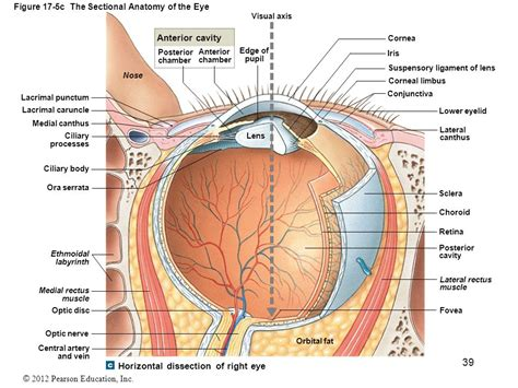 sectional anatomy of the eye 17 lab the special senses ppt video online download