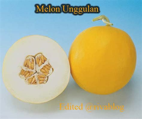 Bibit Melon budidaya melon unggulan cianjur riva fauziah