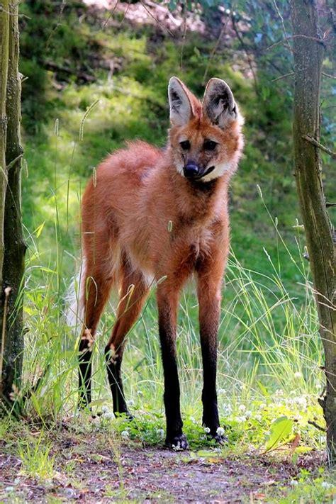 imagenes del animal weta maned wolf animal lover pinterest