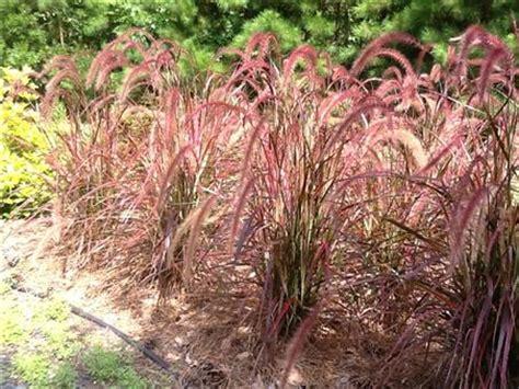 grass fountain purple annual
