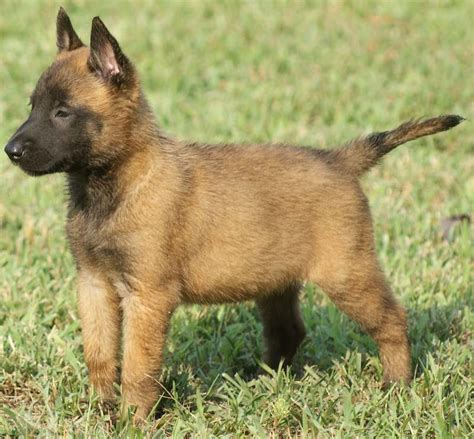 belgian shepherd puppies belgian shepherd malinois puppies www pixshark images galleries with a bite