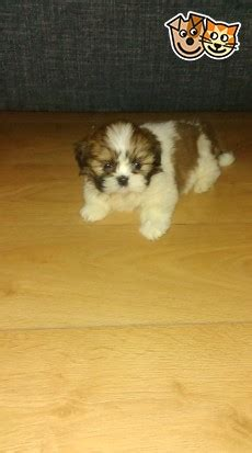 8 Reasons To Choose A Non Pedigree Pet by Beautiful Pedigree Shih Tzu Puppy Non Kc Glasgow