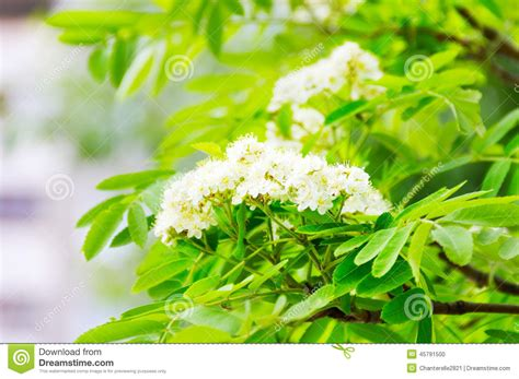 white flowers on a tree stock photo image 45791500