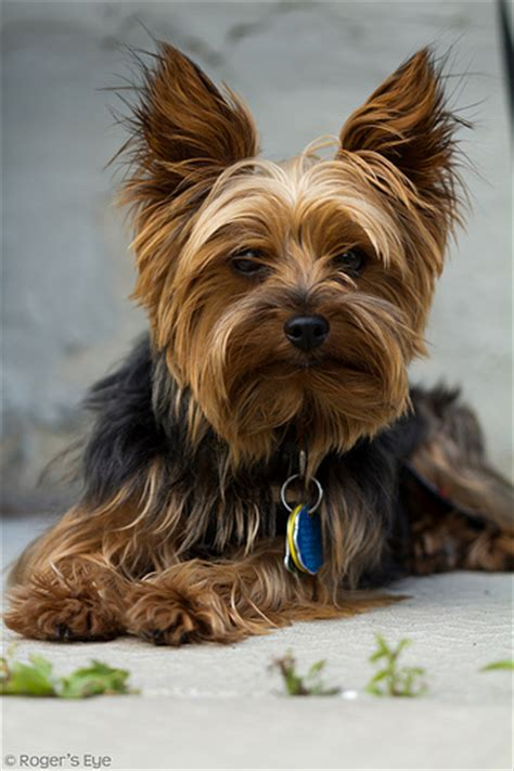 adorable yorkies 27 pictures of terriers