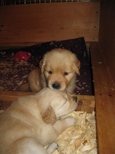 golden retrievers for sale illinois golden retriever puppies for sale near quincy il photo