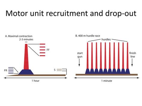 pattern of motor unit recruitment ppt fast vs slow twitch muscles powerpoint presentation