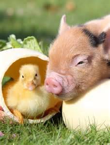 cute animal pictures duckling piglet goodtoknow