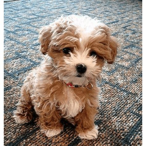 teacup teddy puppies for sale teacup teddy puppies www pixshark images galleries with a bite