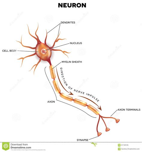 labelled diagram of nerve cell related keywords suggestions for nerve cell labeled