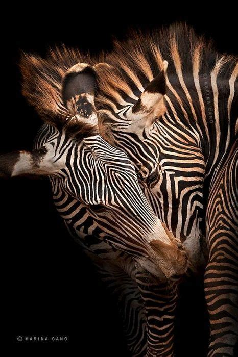 zebra pattern in spanish 64 best zebra images on pinterest zebras giraffes and