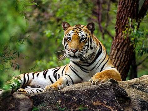 google images tiger tiger pesquisa google tiger pinterest tigers and