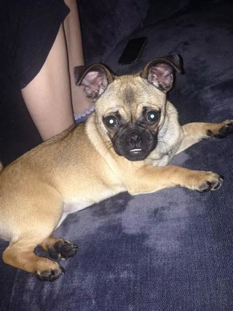 pug cross chihuahua pug cross chihuahua doncaster south pets4homes