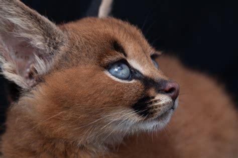 caracal kittens 9 weeks 12   Fiona Ayerst's Blog