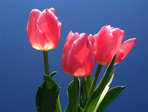 imagenes tulipanes rosas image gallery tulipanes flores