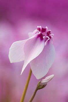 linguaggio dei fiori ciclamino sono numerosi i modi di dire e le simbologie legate al