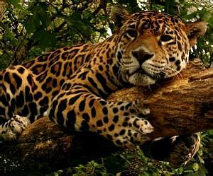 Jaguars Meaning Jaguar Symbolism Jaguar Meaning Spirit Animals