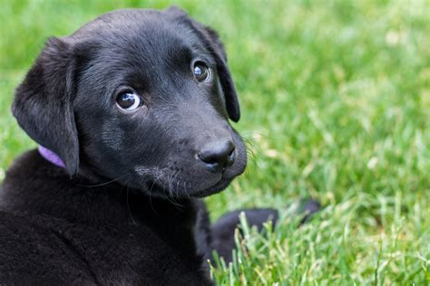black labrador retriever puppies 1440x900px 741351 black lab puppies 179 64 kb 27 04 2015 by bull dog