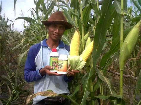 Bibit Jagung Nusantara cara pemupukan jagung budidaya jagung organik pakai cara