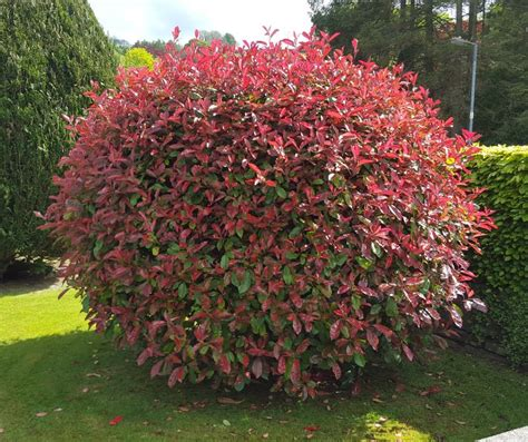 Glanzmispel Rubin by Photinia Fraseri Robin Farmyard Nurseries