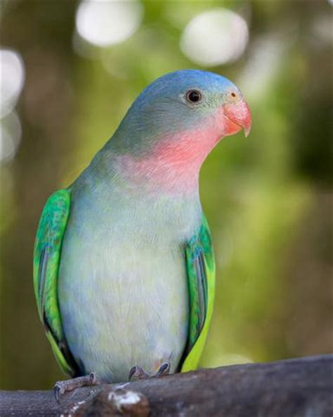 Princess Parrot princess parrot facts care as pets personality pictures