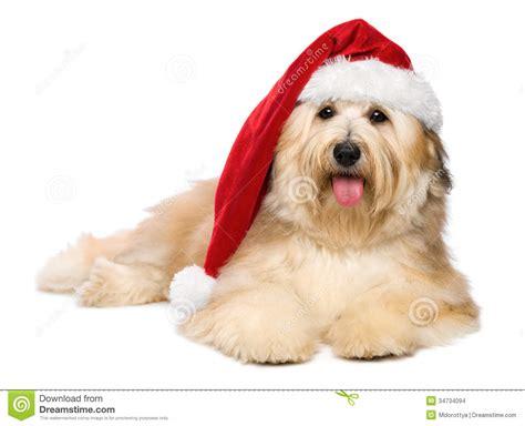 havanese de c 227 o de cachorrinho avermelhado bonito de havanese do natal um chap 233 u de santa