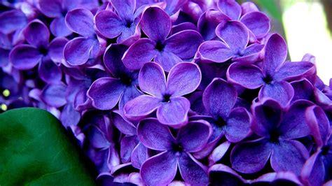 Purple flowers backgrounds wallpaper cave arsiptembi purple flowers backgrounds wallpaper cave mightylinksfo