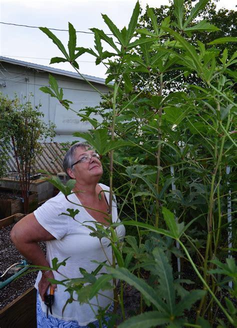 weeds in the backyard 4 feet tall okra update