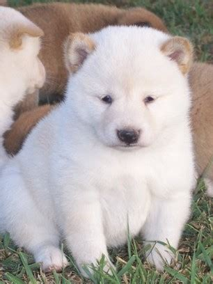 white shiba inu puppies white shiba inu puppies for sale quotes