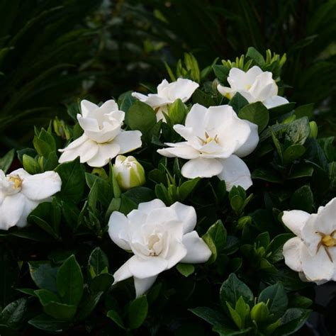 steady    gardenia jasminoides proven winners