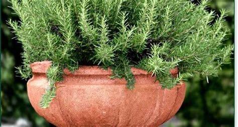 coltivare rosmarino in vaso il rosmarino in vaso aromatiche come coltivare il