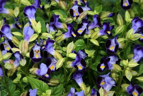 Benih Biji Bunga Torenia Blue Wishbone cara semai bunga torenia fournieri wishbone flower bibitbunga