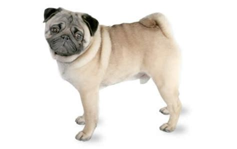 pug age expectancy pug breed temperament health issues more canna pet