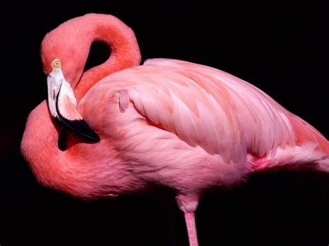 flamingos mac wallpaper 1024x768 flamingo posing desktop pc and mac wallpaper