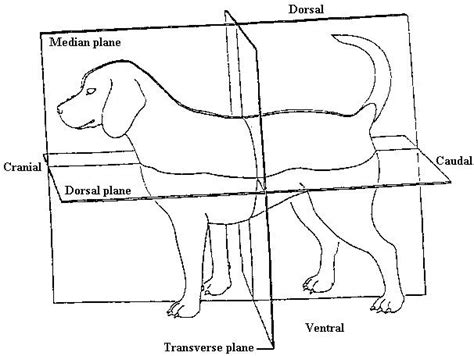 what does transverse section mean clinical anatomy and clinical 2nd ed veterinary medicine