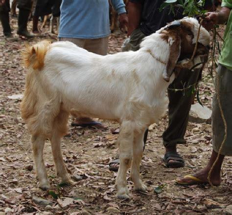 Harga Kambing Jawa Sidoarjo kambing type c i berat 30kg i harga rp 1 5jt i ready