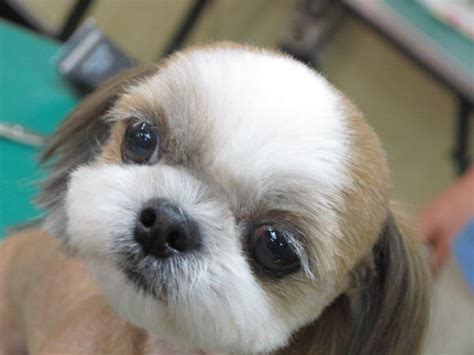 shih tzu tears tips to giving your shih tzu a happy grooming experience