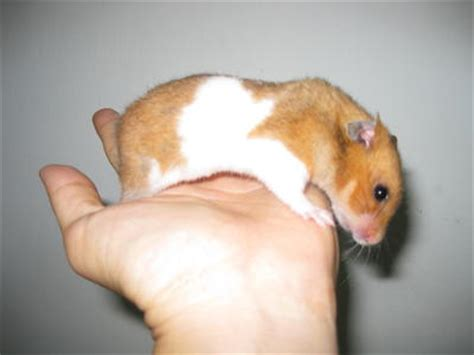 show me a picture of a baby golden retriever hamster syrian golden hamster baby hamsters sold 6 months hamster